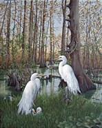 Snowy White Egret Nesting