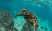 Green Sea Turtle Swimming in the Pacific Ocean, Hawaii