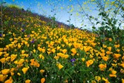 California Poppies and Canterbury Bells in a Field, Diamond Valley Lake, California