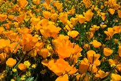 Close-Up of Poppies in a field, Diamond Valley Lake, California