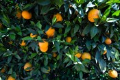 Oranges Growing on a Tree, California