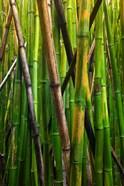Bamboo Trees, Maui, Hawaii