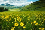 Wildflowers in a Field, Crested Butte, Colorado