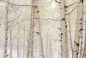 Autumn Aspens With Snow, Colorado