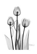 Tulips Black & White