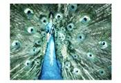Looking Peacock