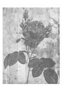 Black Rose In My Garden
