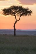 Sunset over Tree, Masai Mara National Reserve, Kenya
