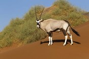 Oryx, Namib-Naukluft National Park, Namibia