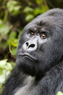 Silverback Mountain Gorilla, Volcanoes National Park, Rwanda