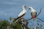 Pair of Red-Footed Boobies, Seychelles