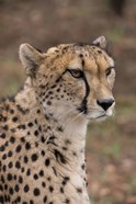 Cheetah, Pretoria, South Africa