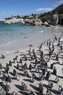 South Africa, Cape Town, Simon's Town, Boulders Beach African Penguin Colony
