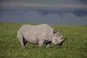 Black Rhinoceros at Ngorongoro Crater, Tanzania