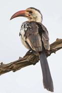 Red-Billed Hornbill, Serengeti National Park, Tanzania