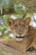 Uganda, Ishasha, Queen Elizabeth National Park Lioness in tTree