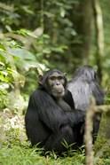 Uganda, Kibale National Park, Young Male Chimpanzee