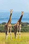 Giraffes on the Savanna, Murchison Falls National park, Uganda