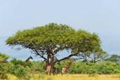 Giraffes Under an Acacia Tree on the Savanna, Uganda