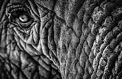 Elephant Close Up - Black & White