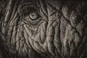 Elephant Close Up II Sepia