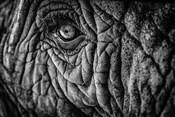 Elephant Close Up II - Black & White