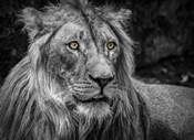 The Lion - Black & White