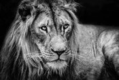 The Lion II - Black & White