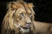 The Lion III