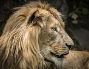 The Lion IV