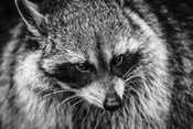 The Raccoon - Black & White
