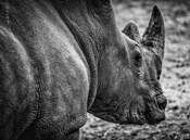 Rhino - Black & White