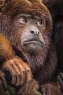 Oranje Monkey II