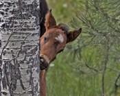 Ochoco Foal - Ochoco