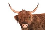 Highland Calf I