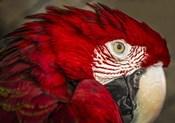 Ara Parrot Close Up