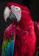 Ara Parrot