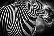 Zebra Black & White