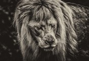 The White Albino Lion III Sepia