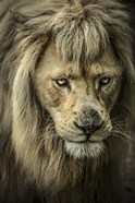 The White Albino Lion IV