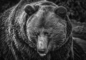 The Grizzly Black & White