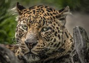 The Jaguar Close Up