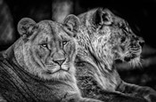 Two Female Lions Black & White