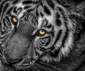 Tiger Close Up Black & White