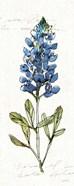 Texas Bluebonnet IV