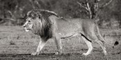 Lion Walking in African Savannah