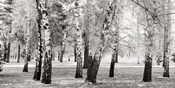 Birches in a Park