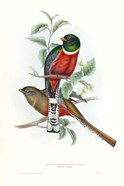 Tropical Trogons V
