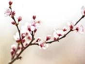 Cherry Blossom Study I