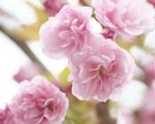 Cherry Blossom Study VI